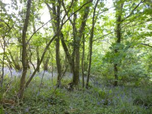 Woods Near Pinny - Jaunt with Jane